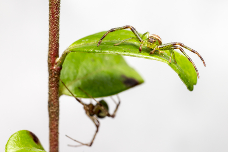diaea: The Green Crab Spider, Diaea dorsata