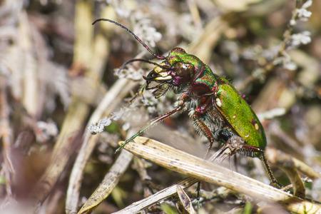 tiger beetle: Il campestris verde Tiger Beetle Cicindela
