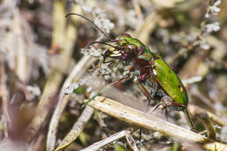 cicindela: The Green Tiger Beetle  Cicindela campestris