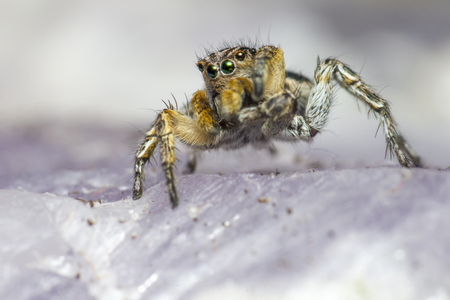 jumping spider: Portrait of a Jumping Spider