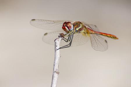 dropwing: The Red-veined Dropwing, Trithemis arteriosa