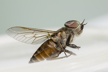 horsefly: Portrait of a Horse-fly, Hybomitra micans Stock Photo