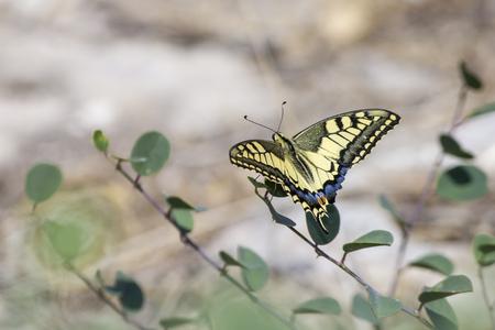 papilio: The Swallowtail, Papilio machaon Stock Photo