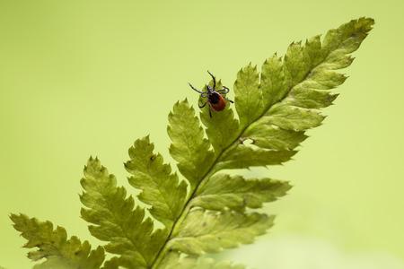 The castor bean tick (Ixodes ricinus) Фото со стока