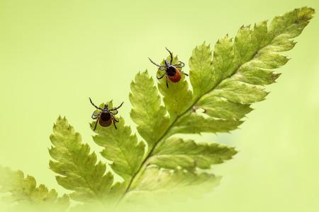 The castor bean tick (Ixodes ricinus) 스톡 콘텐츠