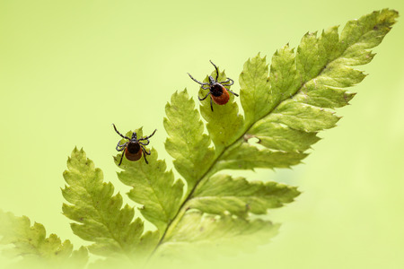 The castor bean tick (Ixodes ricinus) Banque d'images