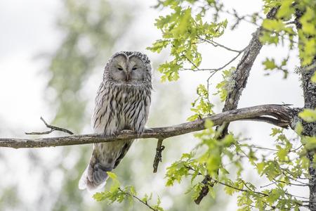 ural owl: Ural Owl (Strix uralensis)