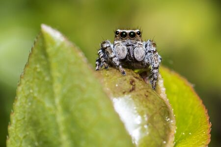 salticidae: Portrait of a jumping spider Stock Photo