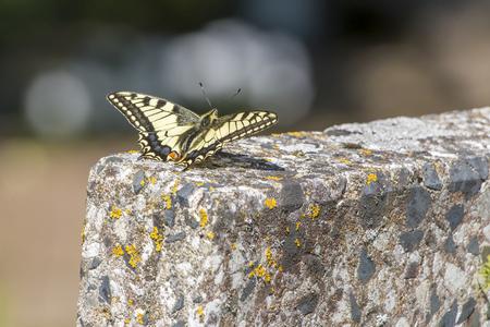 old world: The Old World swallowtail (Papilio machaon) Stock Photo