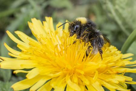 whitetailed: The white-tailed bumblebee