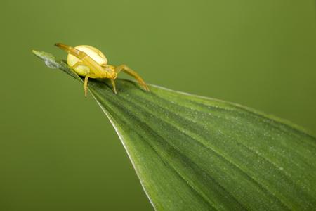 misumena: The Yellow Crab Spider , (Misumena vatia)