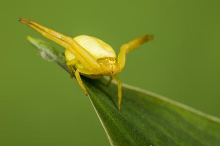 vatia: The Yellow Crab Spider , (Misumena vatia)