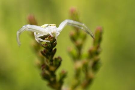 misumena: Portrait of a white crab spider Stock Photo