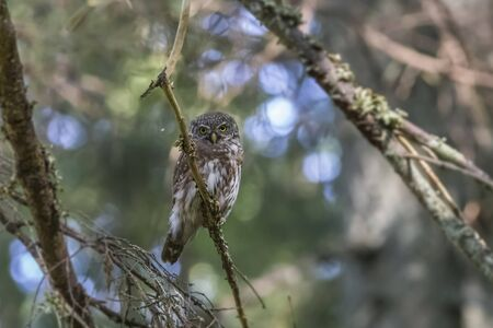 Eurasian pygmy owl (Glaucidium passerinum) Stockfoto