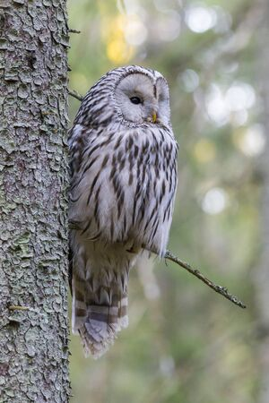 Ural owl (Strix uralensis) Stock fotó