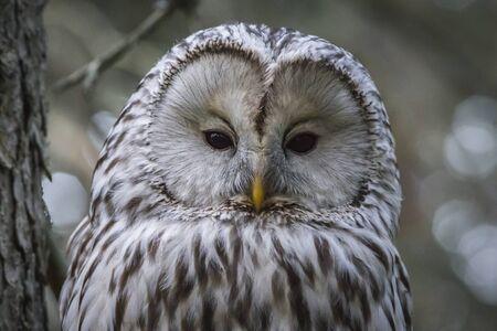 Ural owl (Strix uralensis) Фото со стока