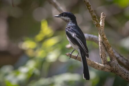 Asian flycatcher Stockfoto