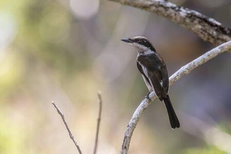 Flycatcher Stockfoto