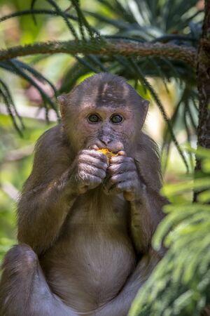 Stump-tailed macaque, (Macaca arctoides) Foto de archivo - 130798165