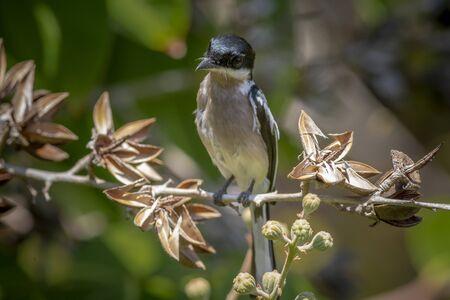 Asian flycatcher bird