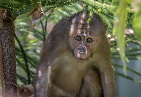 Stump-tailed macaque, (Macaca arctoides)