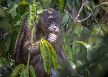 Stump-tailed macaque, (Macaca arctoides) Foto de archivo - 130798212