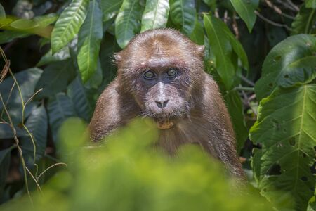 Stump-tailed macaque, (Macaca arctoides) Foto de archivo - 130798213