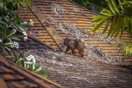 Stump-tailed macaque, (Macaca arctoides) Foto de archivo - 130798217