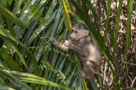 Stump-tailed macaque, (Macaca arctoides) Фото со стока