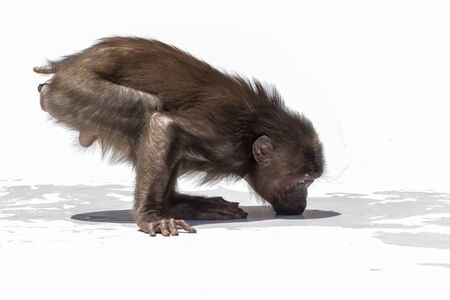 Stump-tailed macaque, (Macaca arctoides) Foto de archivo - 130798258