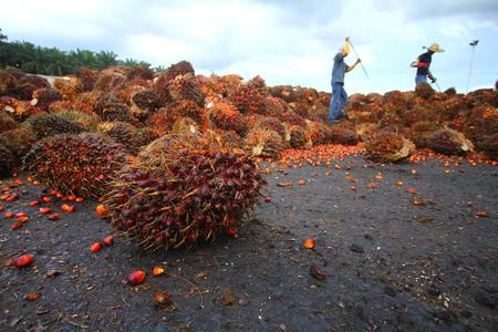 Oil palm industry workers in background Standard-Bild