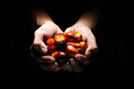 bioenergy: A pair of soil covered hands hlding oil palm fruits