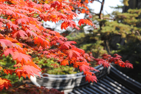 Red autumn leaves in Bukhansan National Park near Seoul city Korea. 版權商用圖片