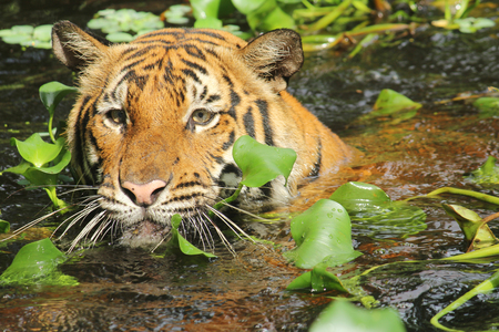 poaching: Tiger swimming in water with aquatic plants