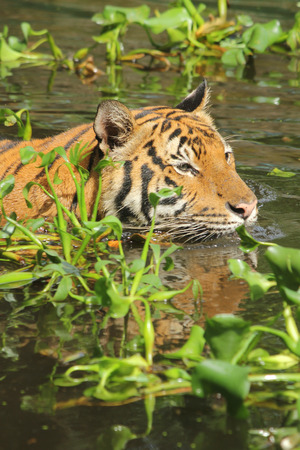 aquatic: Tiger swimming in water with aquatic plants