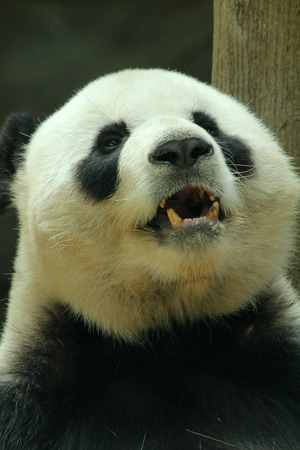 giant: Giant panda showing teeth Stock Photo