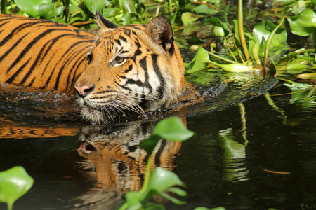 hunted: Tiger swimming in water with aquatic plants