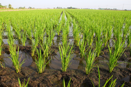 crop  stalks: Young paddy stalks planted in field