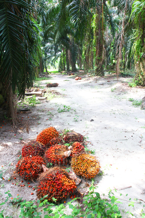 red palm oil: Ripe oil palm fruits on ground of oil palm plantation