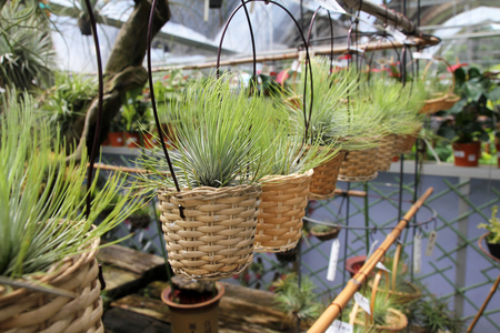 cor: Tillandsia air plants in baskets