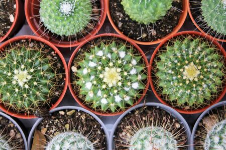 cor: Top view of cactus plants
