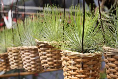 tillandsia: Tillandsia air plants in baskets