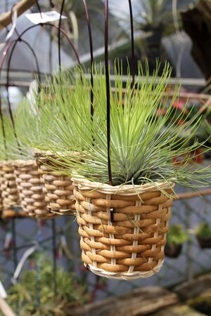 tillandsia: Tillandsia air plants in baskets