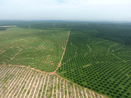 palm: Aerial view of oil palm plantation Stock Photo