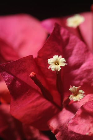 floret: Closeup on white floret of red bougainvillea flower