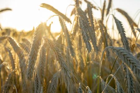 rye, grain or cereals in a backlight scene