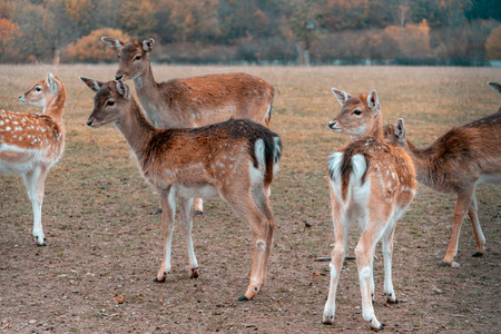 group of deer at a field - autumn scene