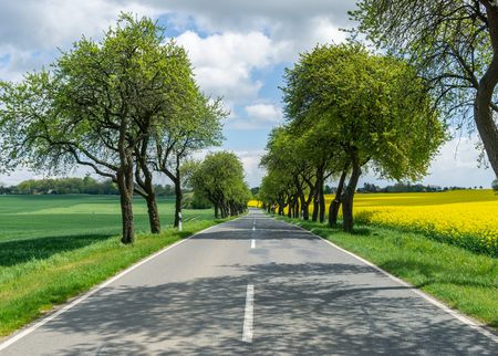 road at the countryside, avenue with trees, oilseed rape at the right side