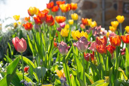 Colorful tulips in the garden - backlight scene Zdjęcie Seryjne