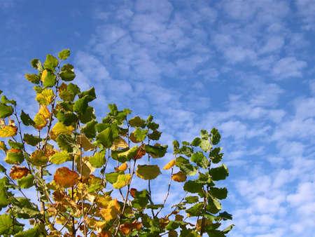 ヘーゼル ナッツの木